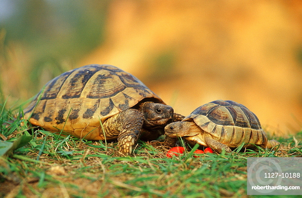 Greek Tortoise and young / (Testudo hermanni)
