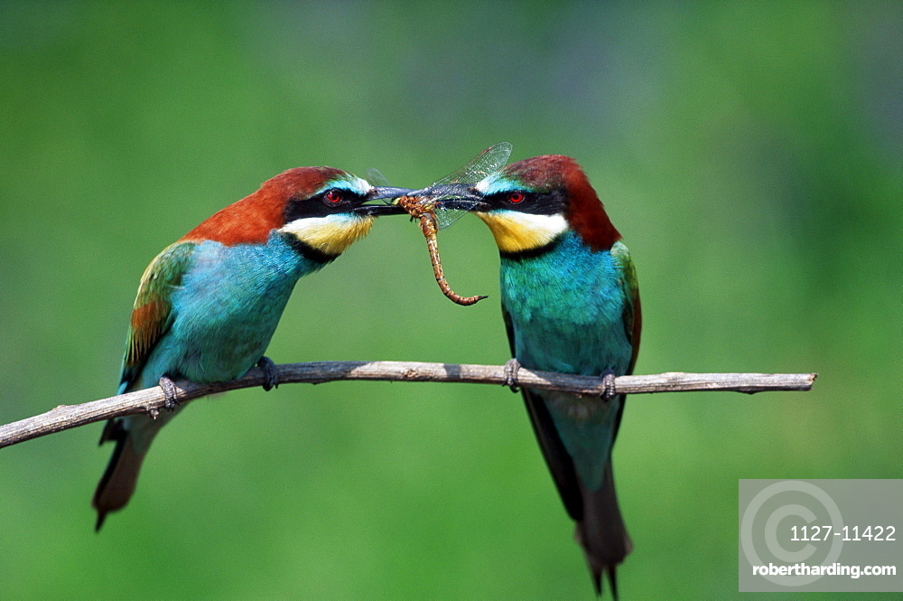European Bee-eater, pair, courtship display with dragonfly, Hungaria / (Merops apiaster)