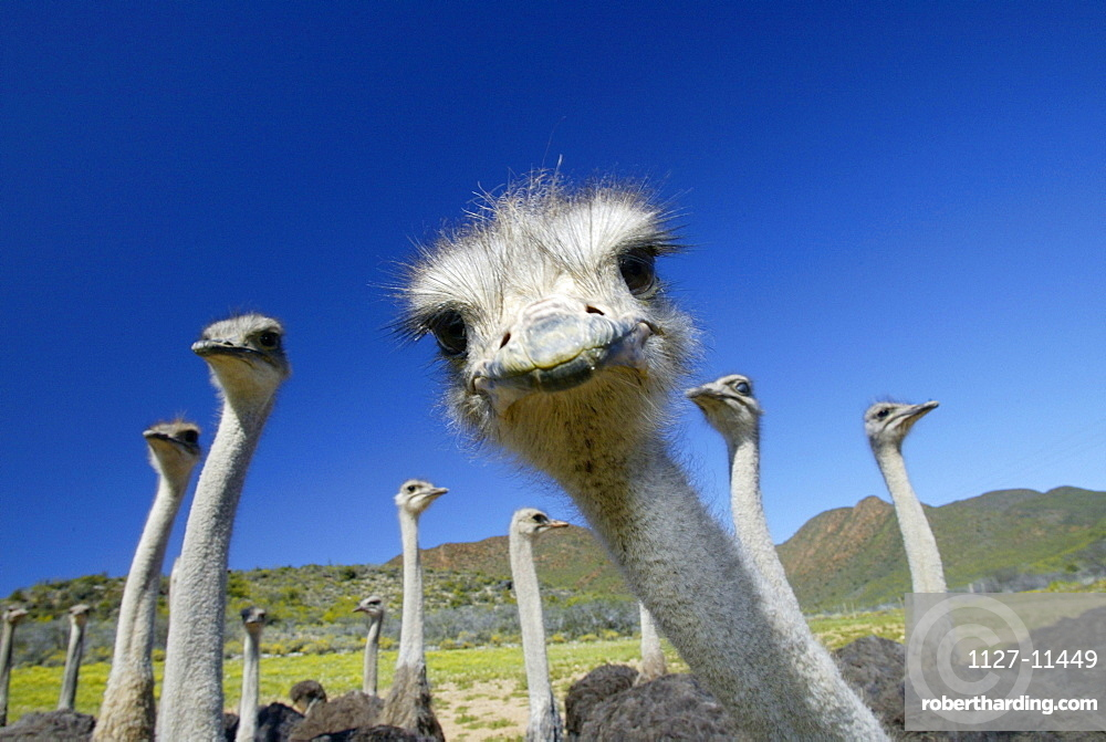 South African Ostrichs, Karoo, South Africa / (Struthio camelus australis)