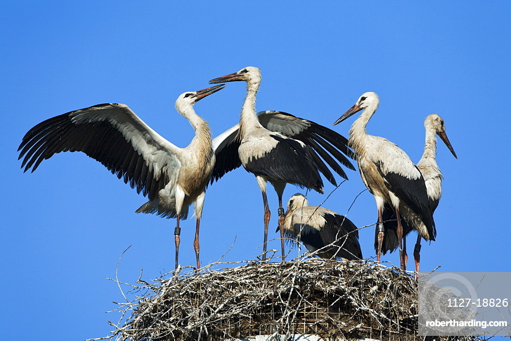 white storks / (Ciconia ciconia) / Germany, youngs on nest