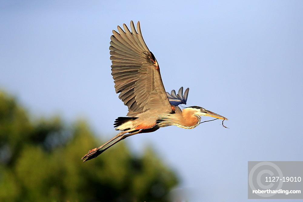 Great Blue Heron, adult flying in breeding plumage with nesting material, Venice Rookery, Venice, Florida, USA, North America / (Ardea herodias)