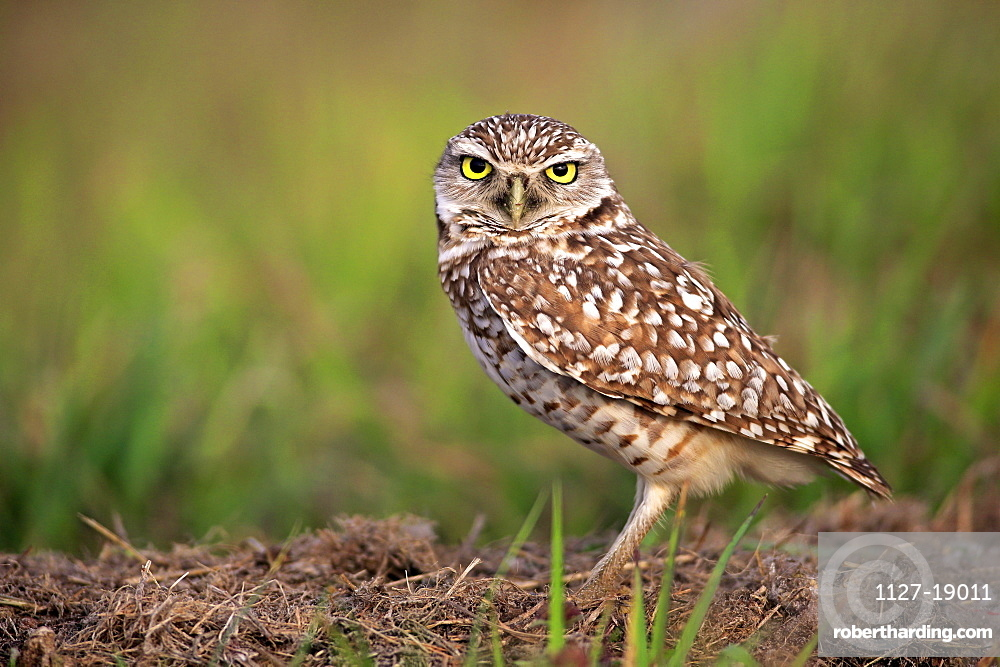 Burrowing owl, adult alert at den, Cape Coral, Florida, USA, North America / (Athene cunicularia)
