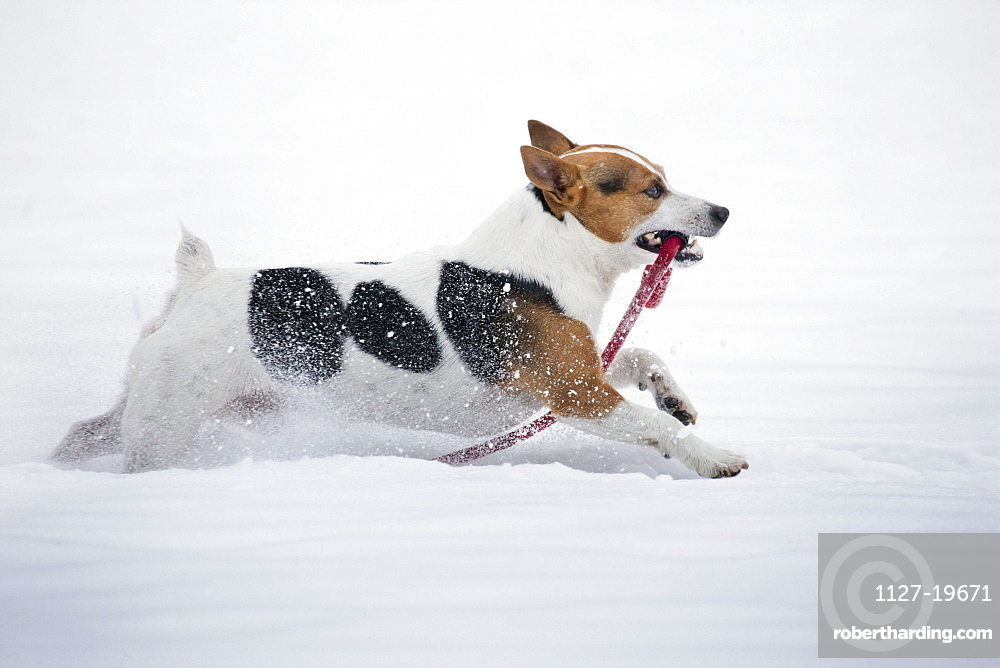 Jack Russell Terrier carrying leash