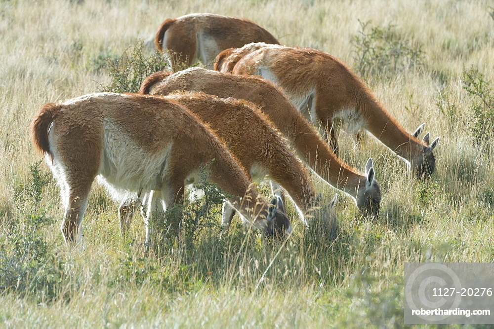 Line of Guanacos (Lama guanicoe) grazing in the steppe, Torres del Paine National Park, Chilean Patagonia, Chile