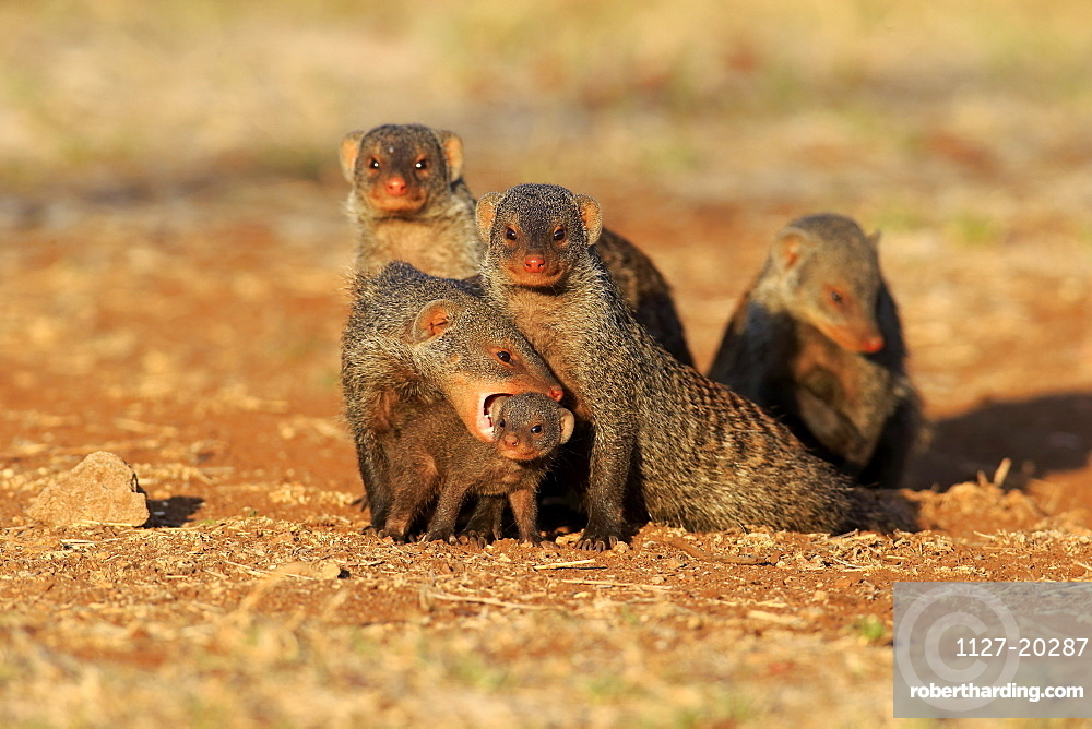 Banded mongoose, adult with young bites to carry, neckbite, Kruger Nationalpark, South Africa, Africa / (Mungos mungo)