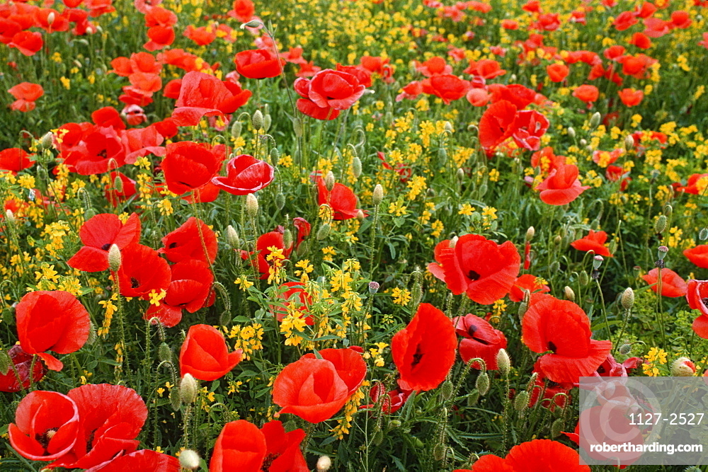 Flower meadow with Common Poppies / (Papaver rhoeas)