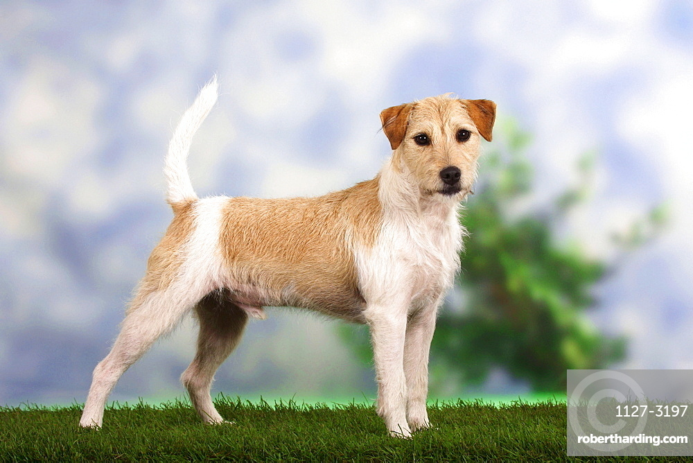 Parson Russell Terrier / side