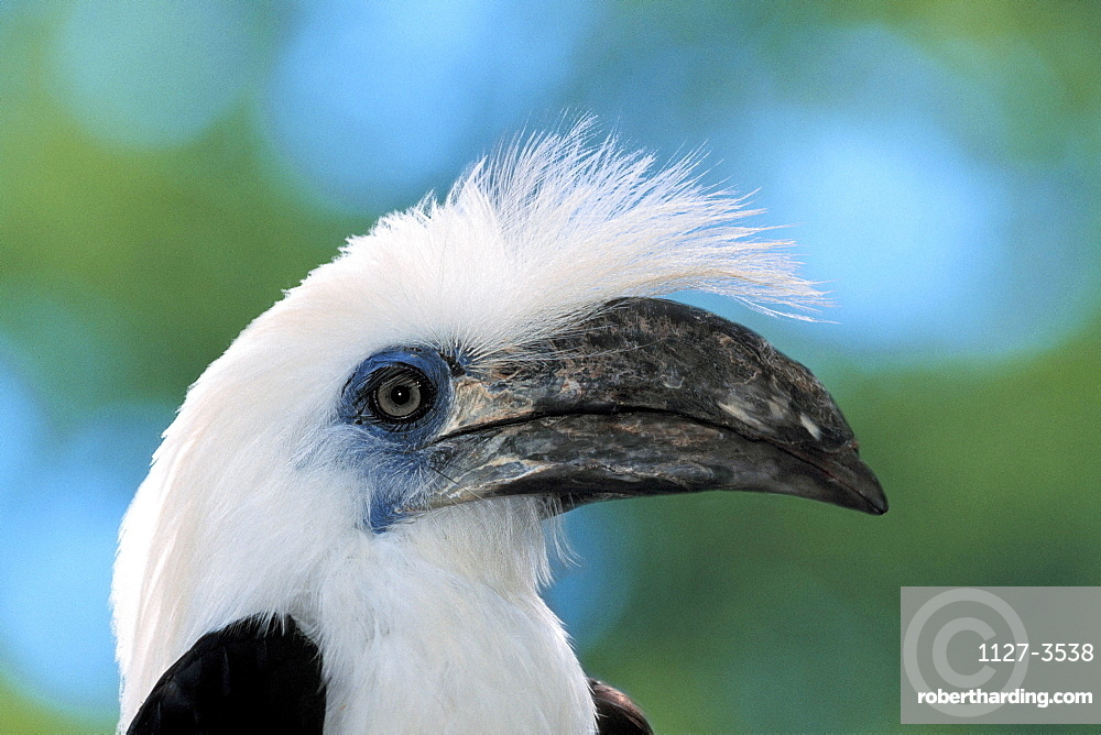 White-crowned Hornbill / (Aceros comatus) / side