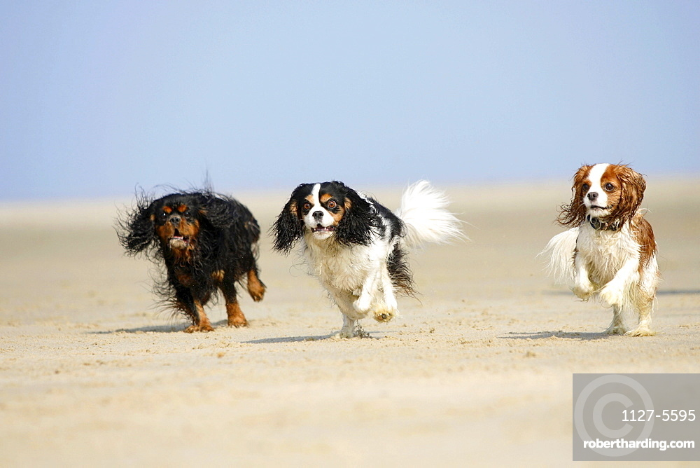 Cavalier King Charles Spaniel, black-and-tan, blenheim and tricolor