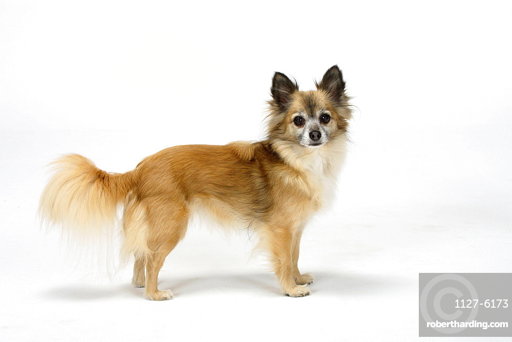 Chihuahua, longhaired, 11 years old / side