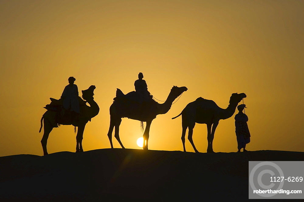 Dromedaries in Thar desert, Rajasthan, India / (Camelus dromedarius) / One-humped Camel