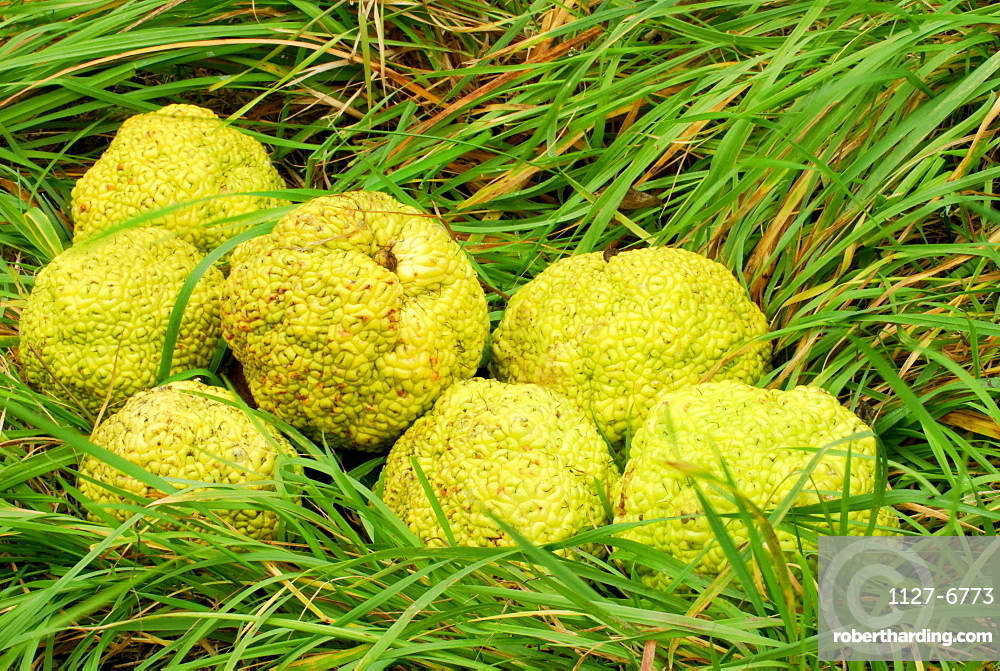 Osage Orange, fruits / (Maclura pomifera)