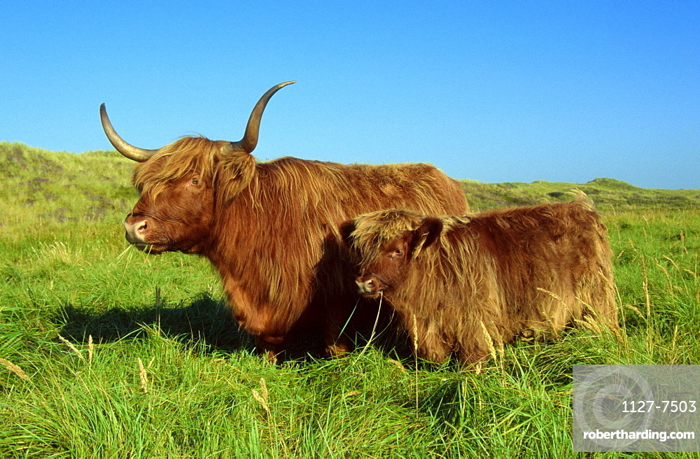 Scottish Highland Cattle, cow with calf  /  Schottische Hochlandrinder, Kuh mit Kalb  /  [Europa / europe, Schottland / Scotland, Saeugetiere / mammals, Haustier / Nutztier / farm animal / domestic, Huftiere / Paarhufer / cloven-hoofed animals, aussen, outdoor, Wiese, meadow, adult, Jungtier, young, Kaelbchen, Mutter & Kind, mother & baby, zwei, two, Querformat, horizontal, weiblich, female, stehen, standing]   Kälbchen