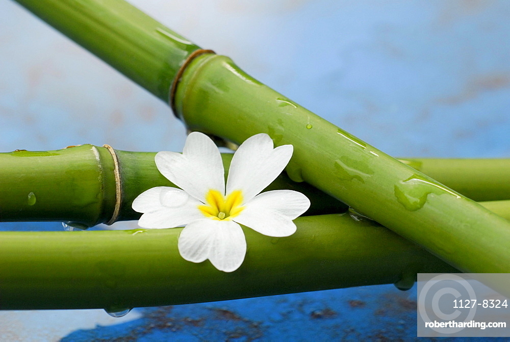 Bamboo cane and blossom
