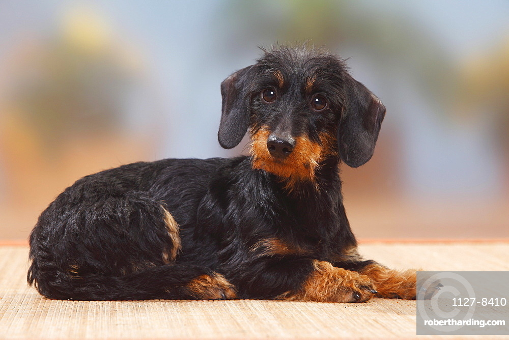 Miniature Wirehaired Dachshund / side