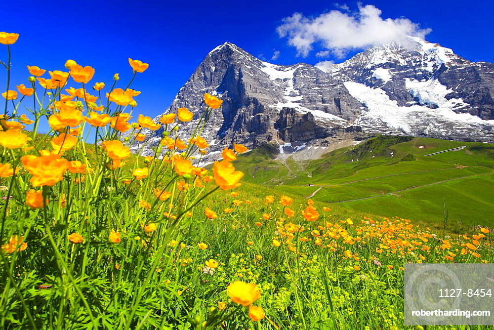 Meadow Buttercup, mountains Eiger and Monk, Bernese Oberland, Switzerland / (Ranunculus acris)