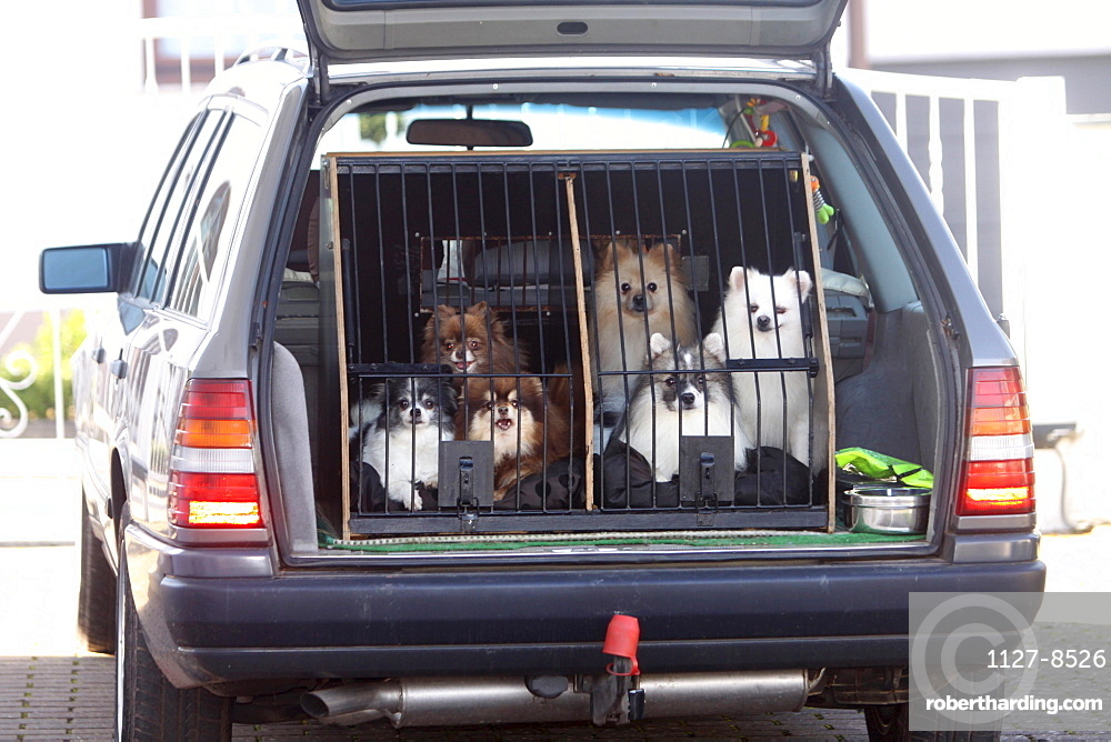 Spitz, dogs in car / kennel