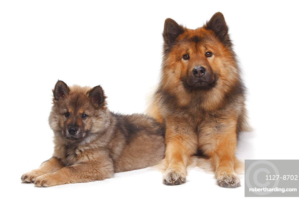 Eurasier with puppy, 10 weeks