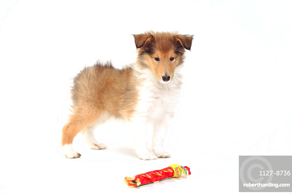 Rough Collie, puppy, sable-white, 8 weeks / toy