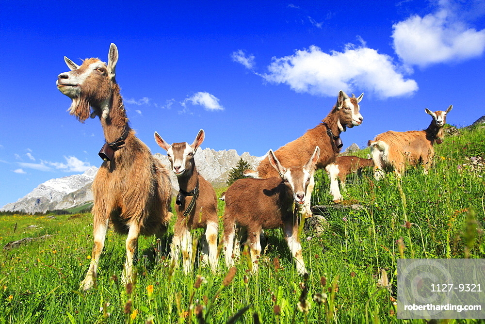 Domestic Goats, females with youngs, Alpsteinmassiv, Appenzell, Switzerland