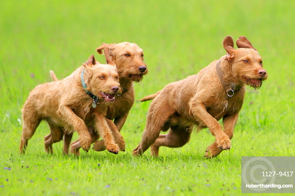 Hungarian Wire-haired Pointing Dogs / Magyar Vizsla