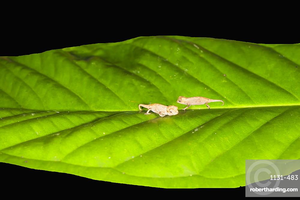 Juvenile Peyrieras' pygmy chameleon (Brookesia peyrierasi), Nosy Mangabe, Maroantsera, Madagascar, Africa