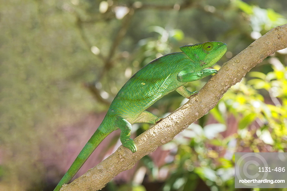 Parson's chameleon (Calumma parsonii), Madagascar, Africa