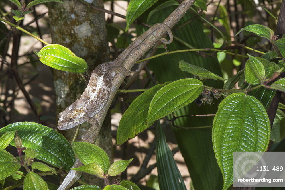 Elephant-eared Chameleon (short-horned chameleon) (Calumma brevicornis) female, Madagascar, Africa