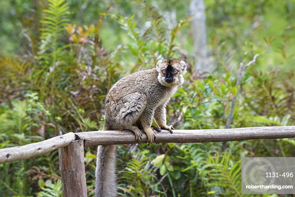 Red-fronted Brown Lemur (Eulemur rufus), Andasibe-Mantadia National Park, Madagascar, Africa