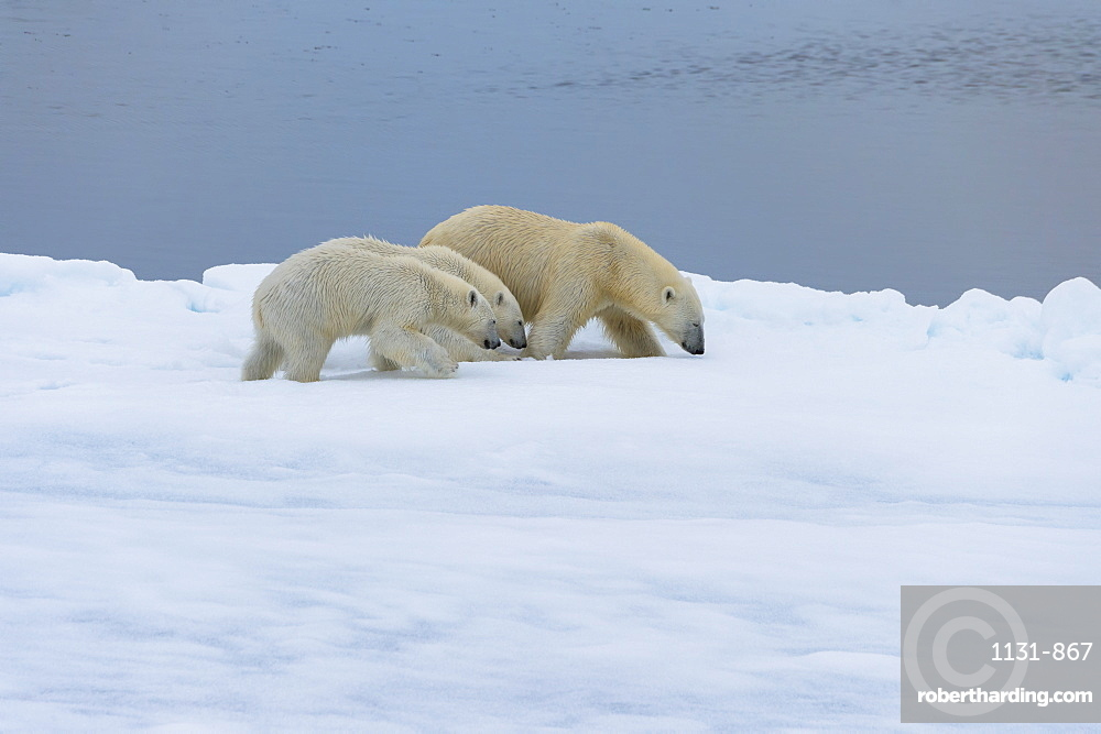 Mother polar bear (Ursus maritimus) walking with two cubs on a melting ice floe, Spitsbergen Island, Svalbard archipelago, Arctic, Norway, Scandinavia, Europe