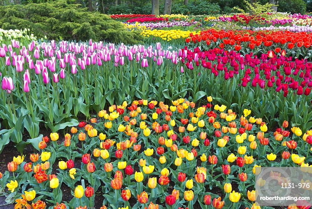 Flower garden with multi-coloured tulips in bloom, Keukenhof Gardens Exhibit, Lisse, South Holland, The Netherlands, Europe