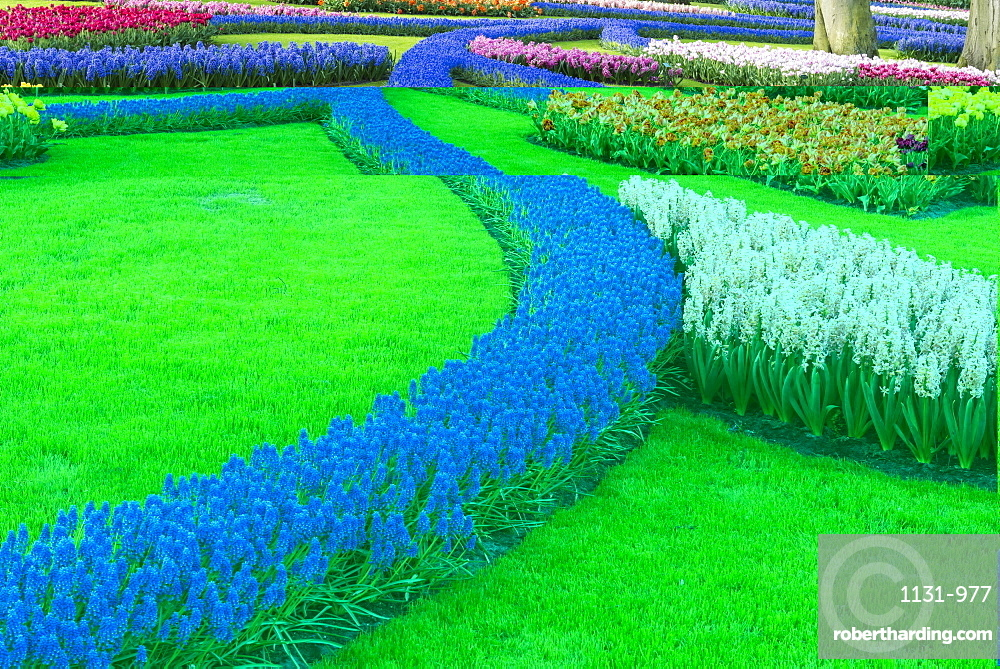 Flower garden with multi-coloured tulips and grape hyacinths in bloom, Keukenhof Gardens, Lisse, South Holland, The Netherlands, Europe