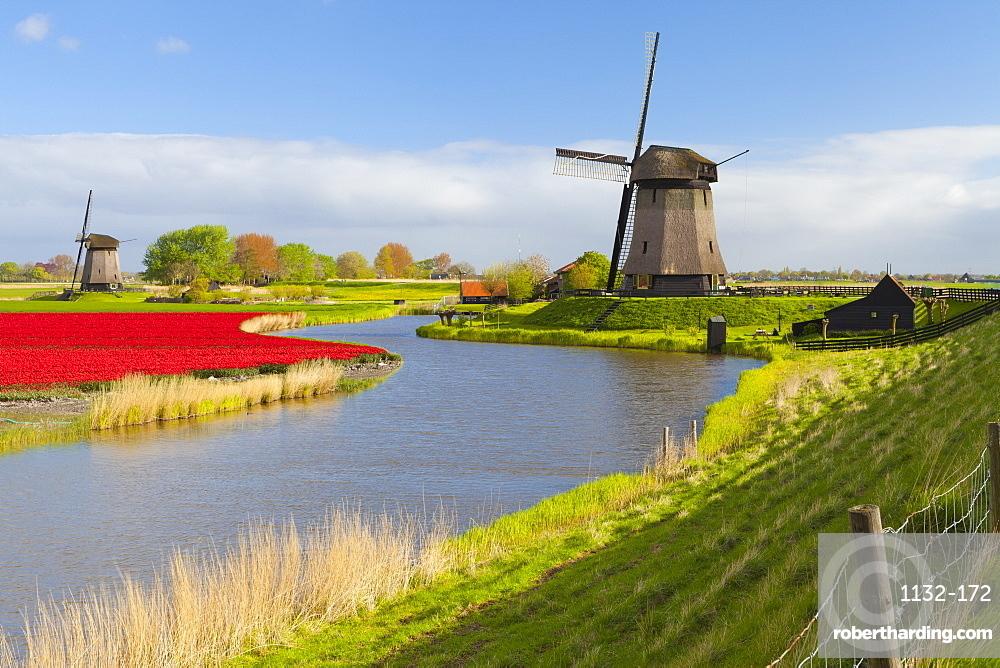 Windmills and tulip field near Schermerhorn, North Holland, Netherlands, Europe