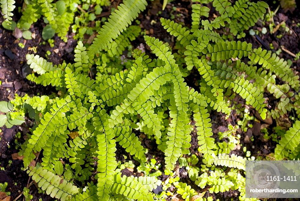Ferns growing in the Royal Botanical Gardens, Sydney, Australia