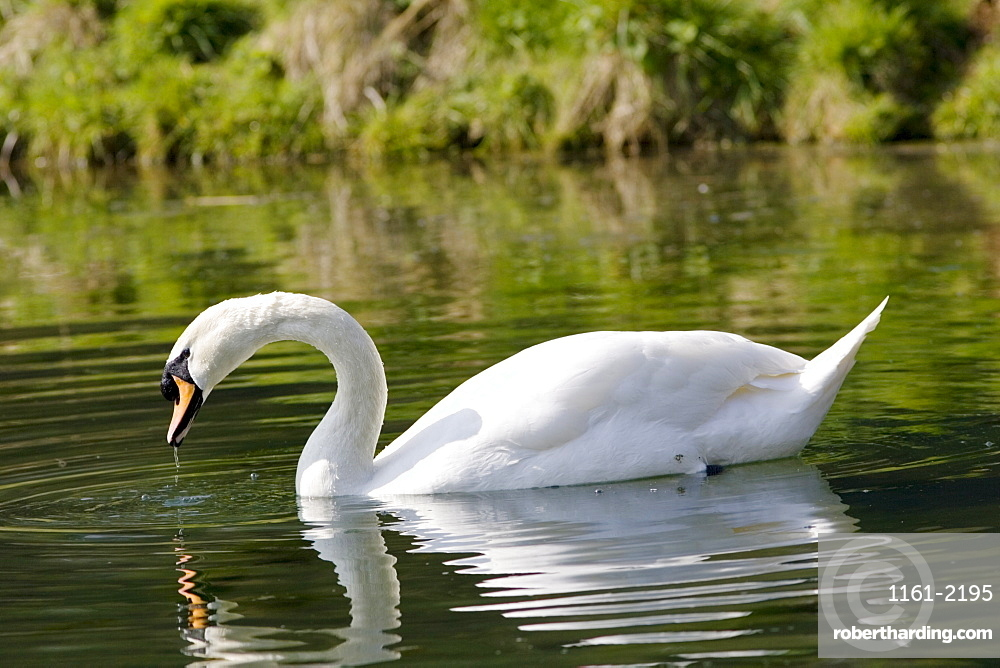 Male mute swan drinking water, Donnington, Gloucestershire, The Cotswolds, England, United Kingdom