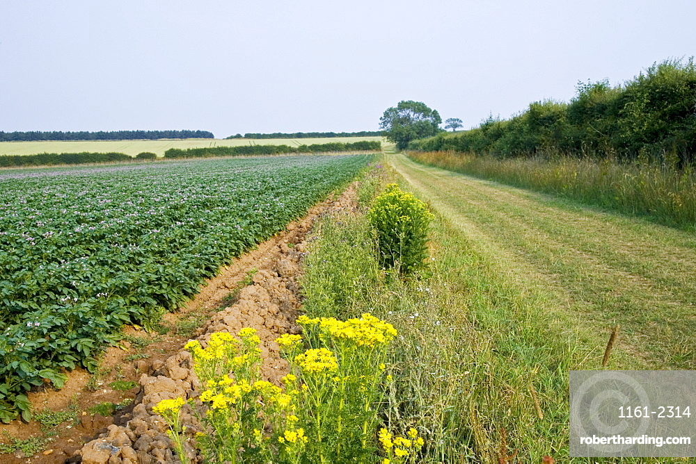 Footpath along verge by potato crop near Holkham, Norfolk, United Kingdom