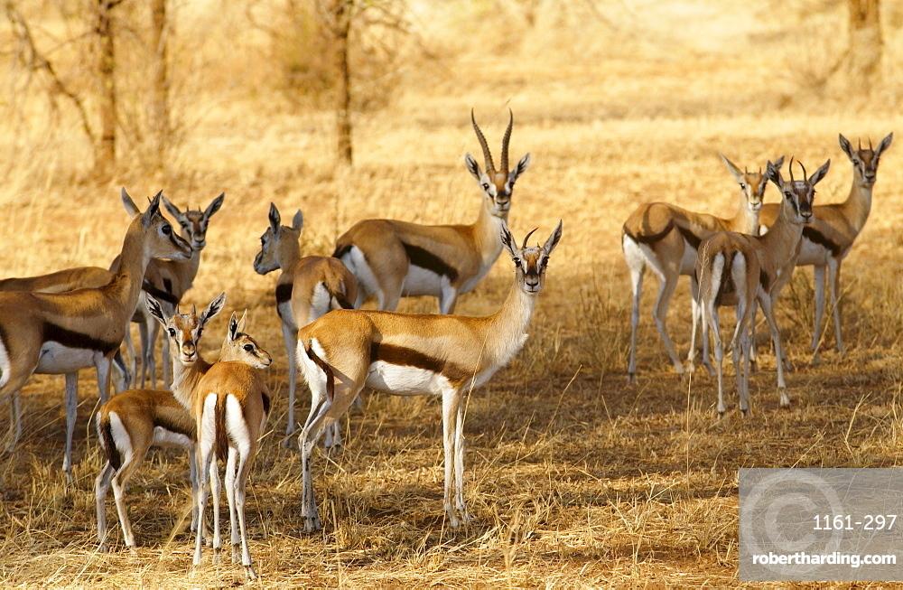 Thomsons Gazelles, Grumeti, Tanzania
