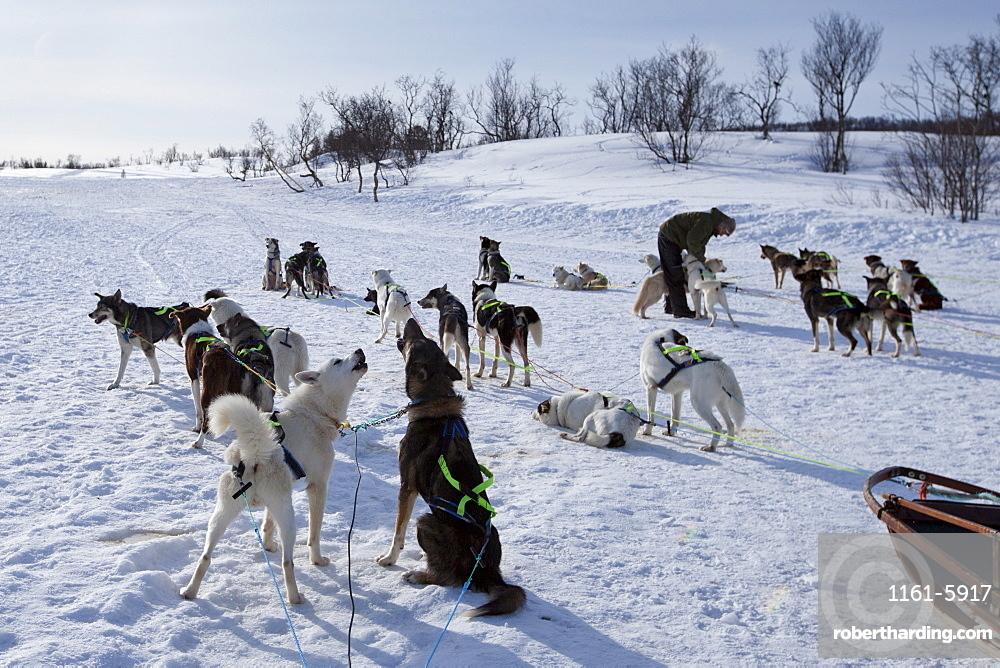 Alaskan Huskies harnessed for dog-sledding at Villmarkssenter wilderness centre Kvaloya Island, Tromso, Arctic Circle Northern Norway