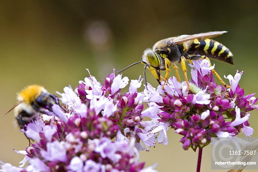 Wasp and bee gather pollen from flowering oregano shrub Origanum Laevigatum to make nectar, Dordogne, France