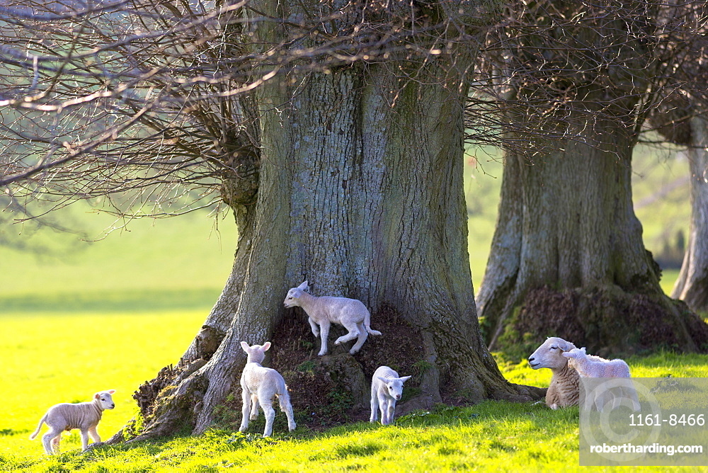Sheep and lambs (Ovis aries)  in The Cotswolds, Gloucestershire, England, United Kingdom, Europe