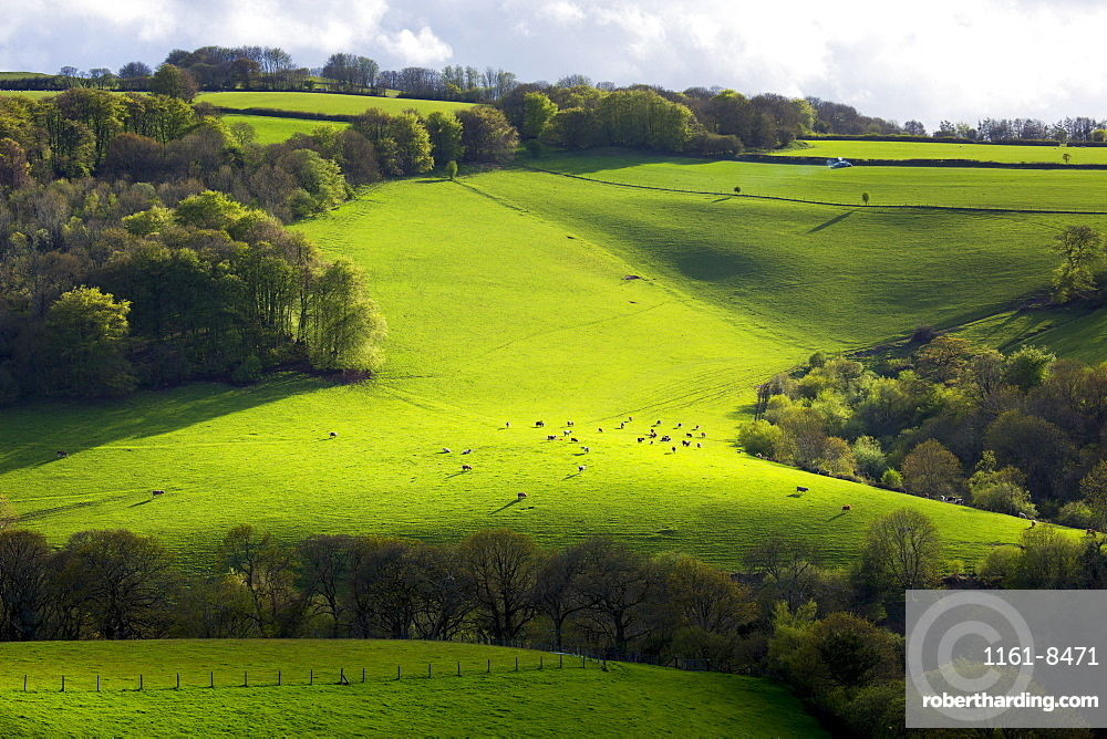 Cattle on rolling hills in Exmoor National Park near Dunster in Somerset, England, United Kingdom, Europe
