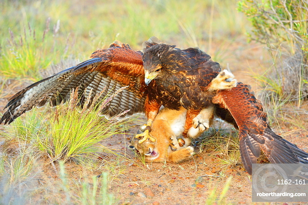 Harris Hawk (Parabuteo unisinctus), hunting a European hare, Patagonia, Argentina, South America