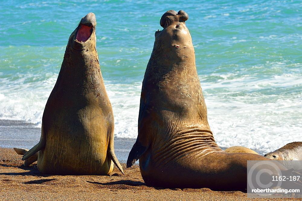 Southern Elephant Seal (Mirounga leonina) adult males fighting, Peninsula Valdes, Patagonia, Argentina, South America