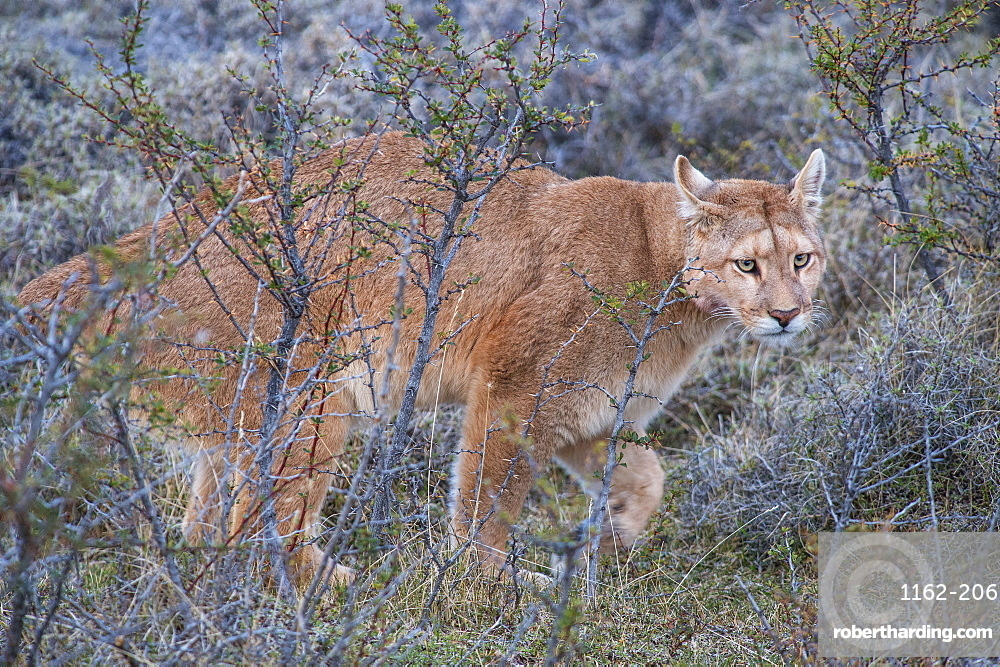 Puma (Puma concolor) (wild puma), Patagonia, Chile, South America