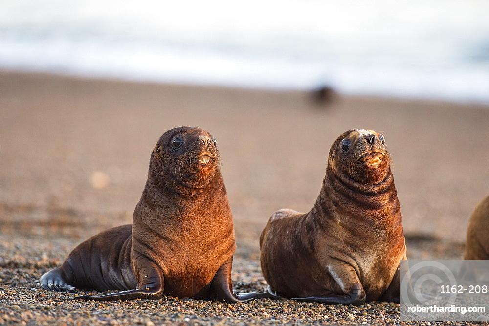 South American sea lion (Otaria flavescens) pups, Patagonia, Argentina, South America