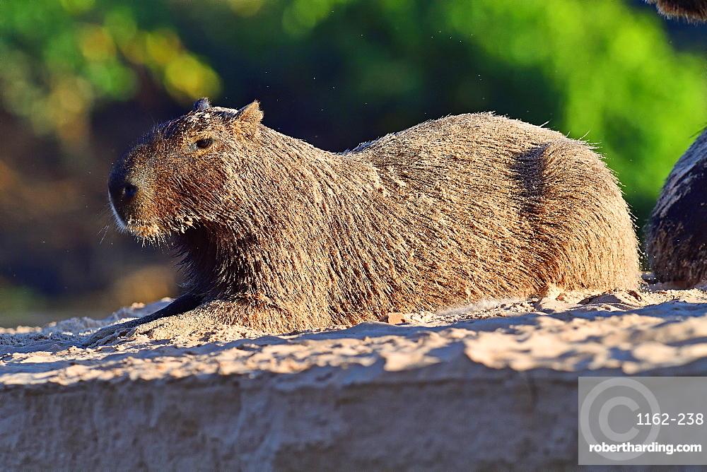 Capibara (Hydrochoerus hydrochaeris), Pantanal, Mato Grosso, Brazil, South America