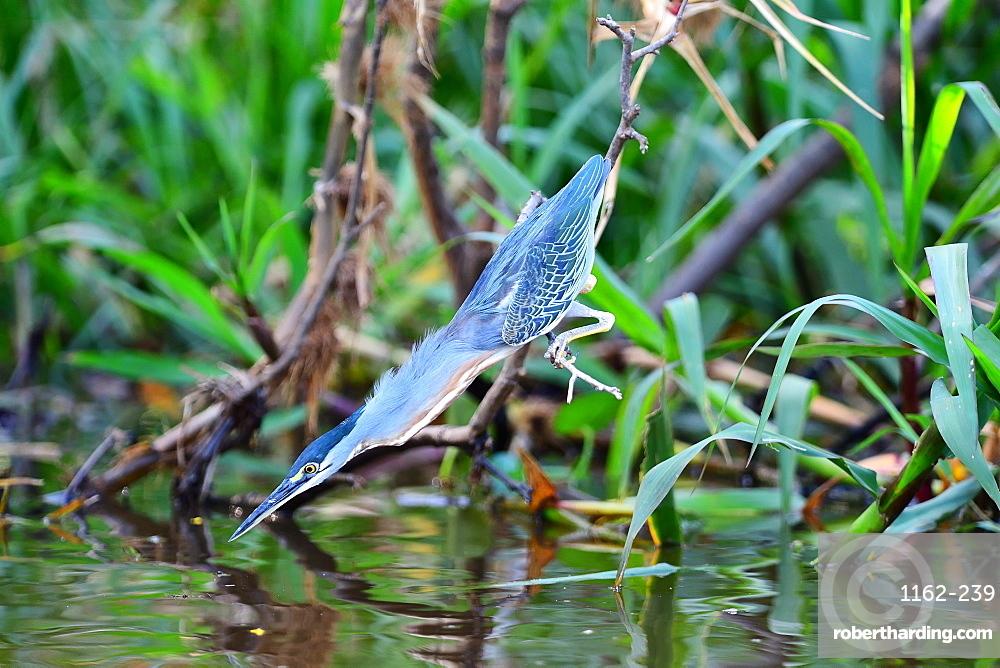 Striated heron (Butorides striata), Pantanal, Mato Grosso, Brazil, South America