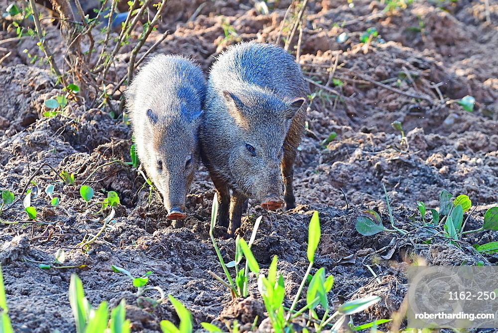 Pecari, Pantanal, Mato Grosso, Brazil, South America