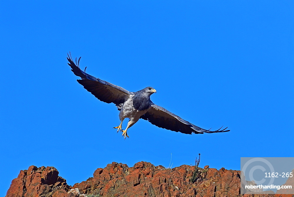 Black Chested Buzzard Eagle (Geranoates Melanoleucus), Patagonia, Chile, South America