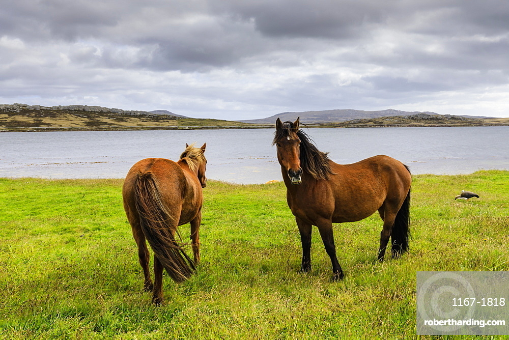 Windswept pair of horses, distant mountains and the sea, The Narrows, Stanley Harbour, Port Stanley, Falkland Islands, South America